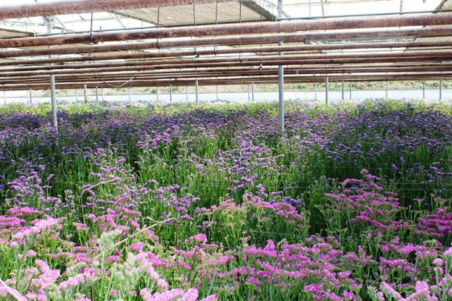 Totana requests aid from the state and regional governments to alleviate the economic consequences of the health crisis on the cut flower and ornamental plant sector