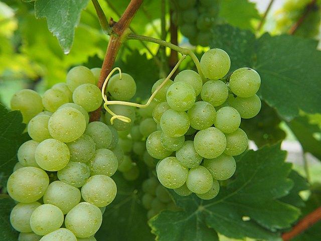 El 15 de abril, último día para contratar el seguro de uva de mesa para la próxima cosecha - 1, Foto 1