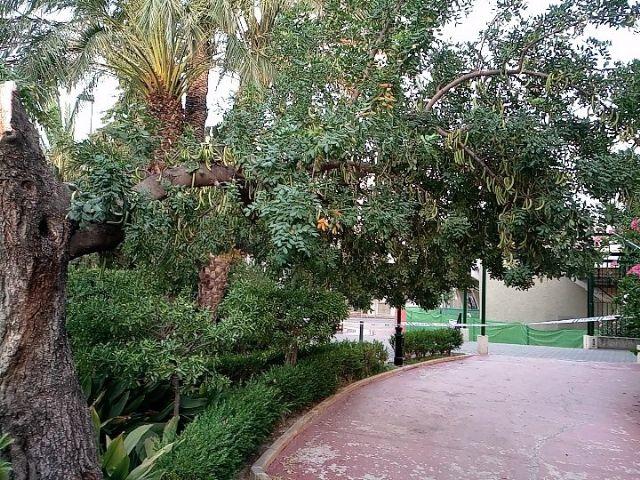La caída de ramas de un algarrobo en La Cubana obliga a su tala parcial - 1, Foto 1