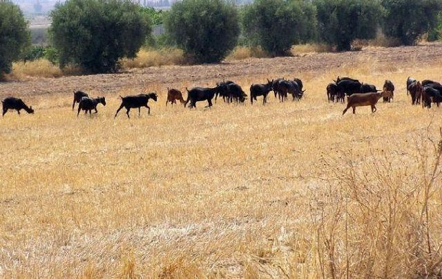 The procedure begins to award the use of pastures in the Cabezo de la Rendija, property of the Totana City Council