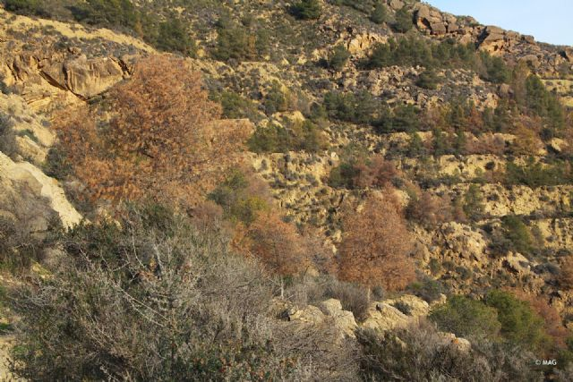 Tala de pinar seco en la sierra de La Muela, Foto 2