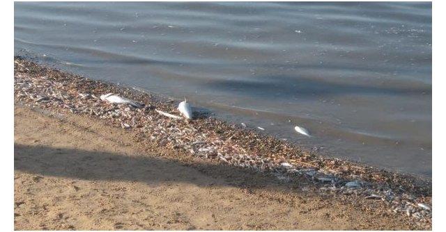 Aniversario mortalidad masiva de peces en el Mar Menor - 1, Foto 1