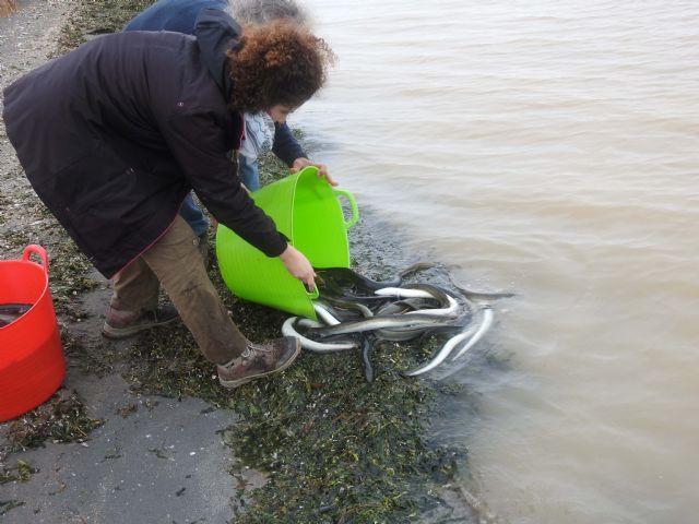 ANSE obtiene avances sobre el comportamiento de la anguila europea en el Mar Menor - 2, Foto 2