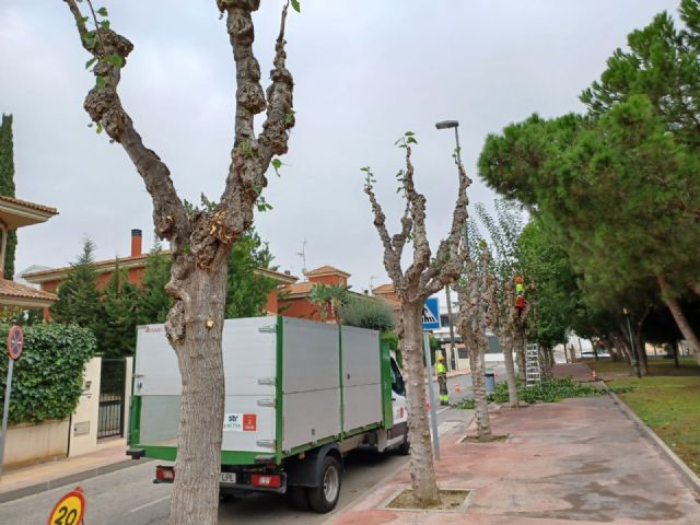 Comienza la poda de las más de 20.000 moreras que hay en el municipio de Murcia - 3, Foto 3