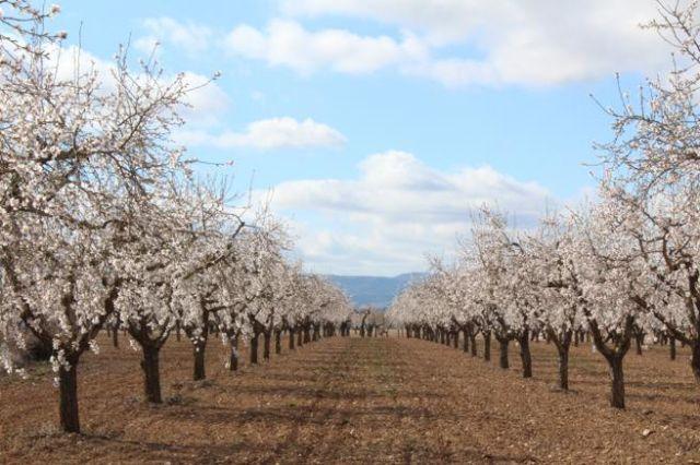 Coato participa en el desarrollo de una app para detectar los árboles que producen almendra amarga - 2, Foto 2
