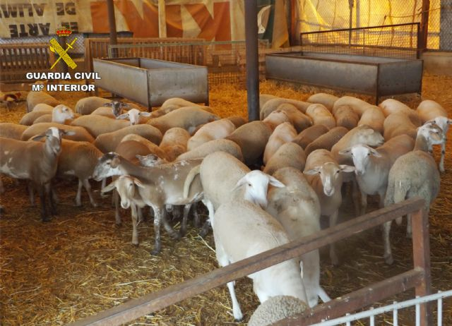 The Civil Guard detained two people when they stole several lambs in a farm in Totana - 3