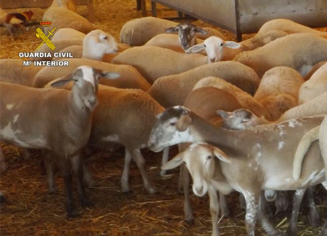 The Civil Guard detained two people when they stole several lambs in a farm in Totana - 4