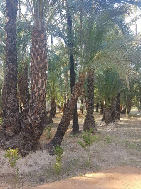 Cambiemos Murcia propone plantar nuevos ejemplares en el Palmeral de Santiago y Zaraiche - 1, Foto 1