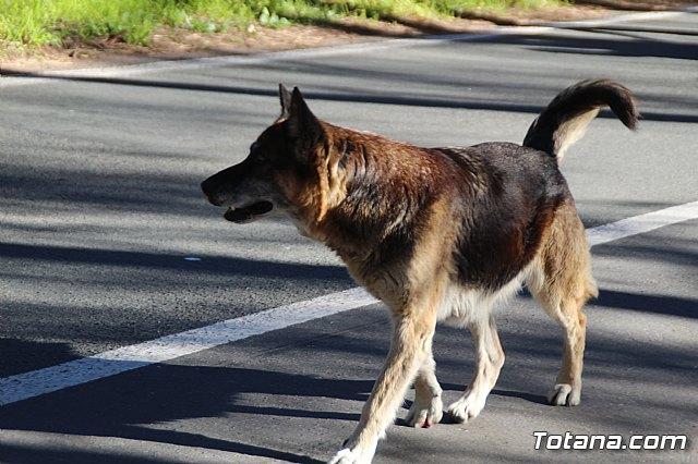 El perro desorientado el pasado 7 de enero en la romería / Totana.com, Foto 1