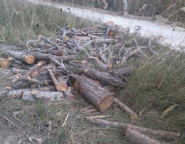IU-Verdes denuncia una nueva tala de pinos y especies protegidas en el 'paraje del Argaz' - 2, Foto 2