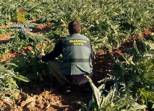 La Guardia Civil desmantela un grupo delictivo dedicado a la sustracción de alcachofa en Torre Pacheco - 1, Foto 1