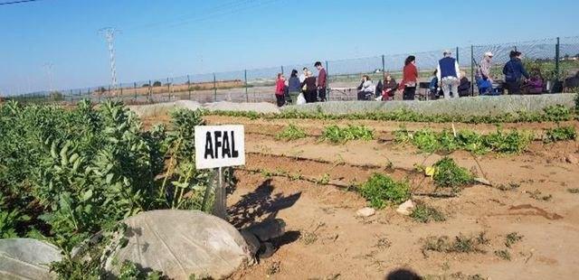 Familiares y personas con Alzheimer de la asociación AFAL Cartagena y comarca han comenzado esta tarde a recolectar los productos hortícolas - 1, Foto 1