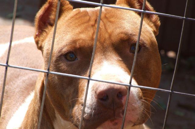 El Ayuntamiento de Totana tramita en lo que va de año ocho expedientes de licencia para la tenencia de animales potencialmente peligrosos, Foto 1