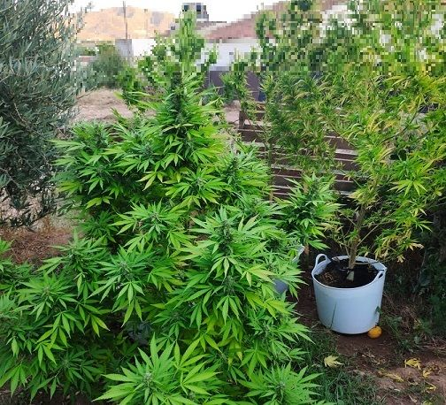La Policía Local localiza cuatro plantas de marihuana cultivadas en un huerto colindante a una vivienda en La Campana - 1, Foto 1