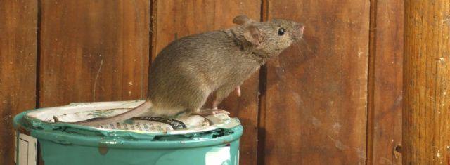 Rentokil Initial: El confinamiento incrementa las plagas de ratas y ratones en las ciudades - 1, Foto 1