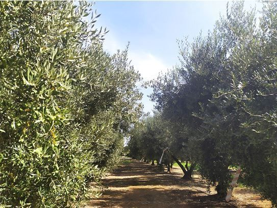 Alianza entre Vytrus Biotech e IRTA para la investigación y preservación del olivo en Cataluña - 1, Foto 1