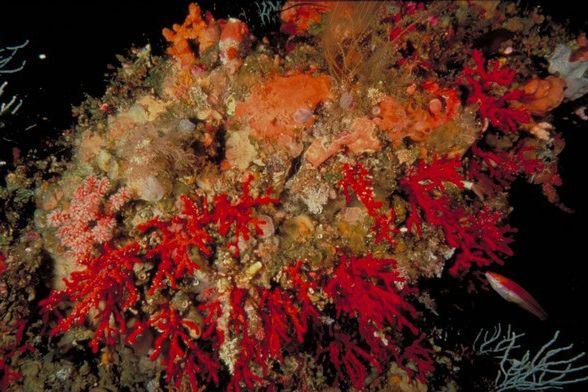El Ministerio de Agricultura, Pesca y Alimentación establece el procedimiento para controlar la primera venta de coral rojo - 1, Foto 1