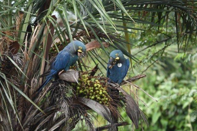 Loro Parque Fundación introduce más ejemplares de guacamayo de Lear en su medio natural en Brasil - 1, Foto 1