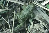 Medio Ambiente lleva a cabo una estrategia para conservar anfibios en Sierra Espuña