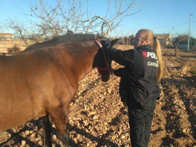 Policia locales intervienen un caballo suelto en la carretera de San Isidro a Cuesta Blanca - 1, Foto 1