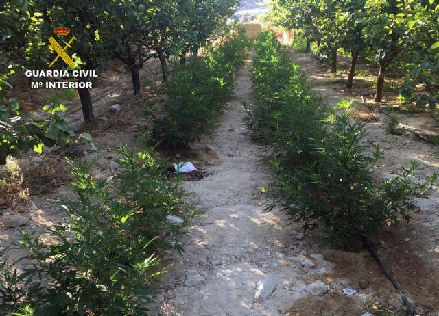 La Guardia Civil desmantela una plantación con más de 2.000 plantas de marihuana en Ulea - 2, Foto 2