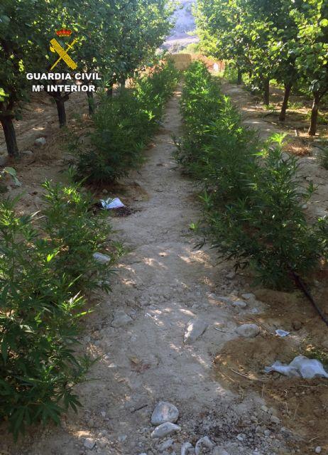 La Guardia Civil desmantela una plantación con más de 2.000 plantas de marihuana en Ulea - 3, Foto 3