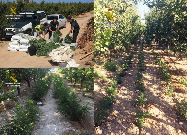La Guardia Civil desmantela una plantación con más de 2.000 plantas de marihuana en Ulea - 4, Foto 4