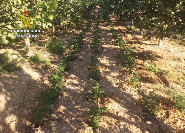 La Guardia Civil desmantela una plantación con más de 2.000 plantas de marihuana en Ulea - 5, Foto 5