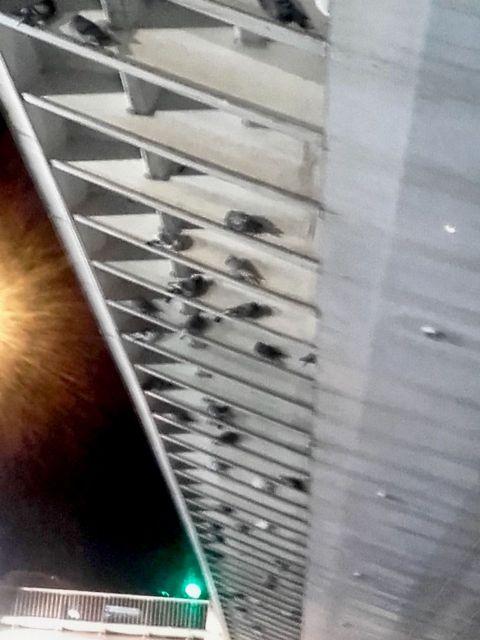 Aprobada por unanimidad moción de Ahora Murcia para el control de la plaga de palomas en Vistabella - 1, Foto 1