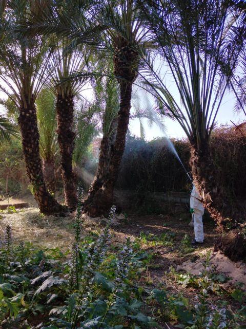 Luchamos contra el picudo tratando más de 15.000 palmeras - 1, Foto 1