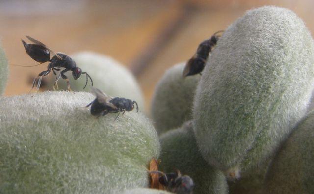 Agricultura alerta de la necesidad de realizar en los próximos días tratamientos contra la avispilla - 1, Foto 1