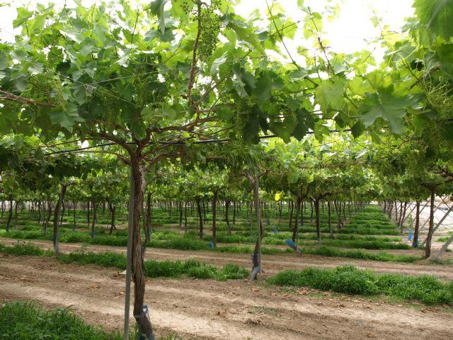 Desarrollan en Totana un proyecto sobre producción ecológica de uva de mesa sin semillas, Foto 1