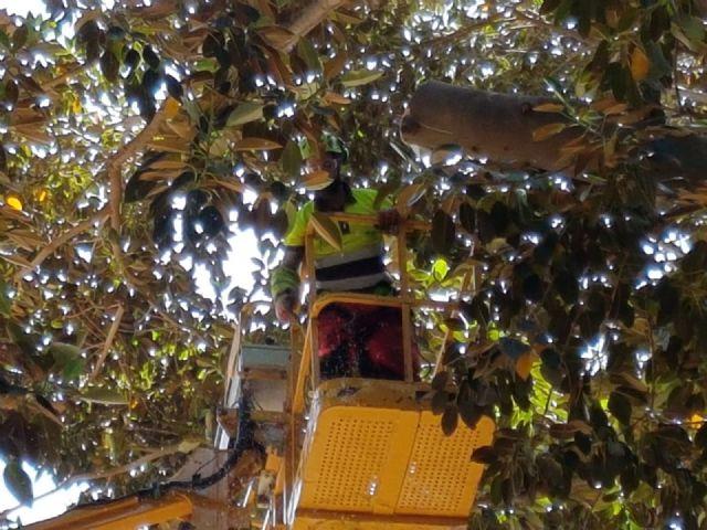 La revisión de los ficus del Jardín de Floridablanca permite detectar una rama de dos toneladas que presentaba riesgo de caída - 1, Foto 1