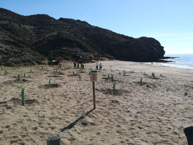 Medio Ambiente comienza la reposición de la vegetación arrancada por una roturación ilegal en las playas de Calnegre, Foto 1