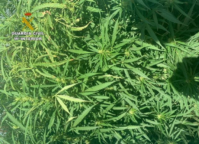 La Guardia Civil desmantela dos plantaciones de marihuana en Abanilla - 2, Foto 2