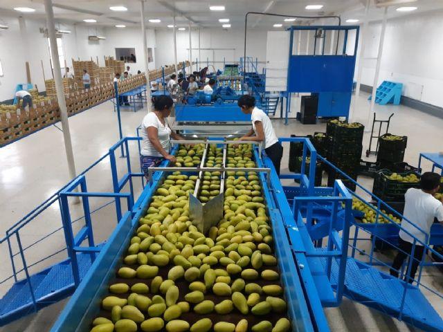 El mango de Guatemala apuesta por la diversificación comercial de manera sostenida, destaca el Ingeniero  Agrónomo Eddy Martínez - 2, Foto 2