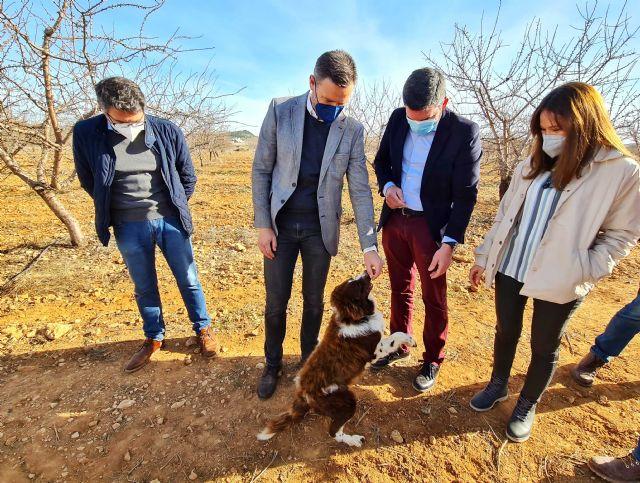 Los buenos resultados de los cultivos experimentales de trufa negra abren una nueva alternativa a la agricultura de Caravaca - 2, Foto 2