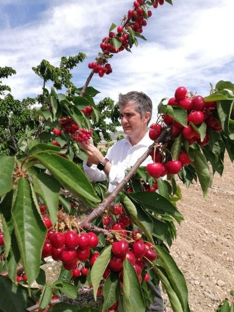 Agricultura desarrolla en Jumilla una red experimental de cultivo del cerezo - 1, Foto 1
