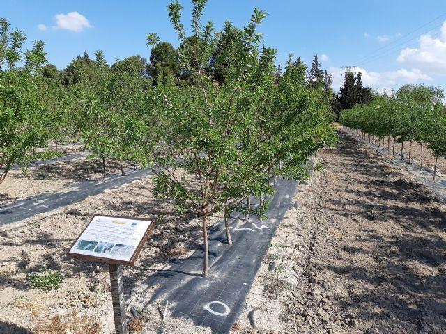 Agricultura desarrolla en Torre Pacheco tres proyectos sobre el almendro como alternativa  ante la escasez de agua - 1, Foto 1