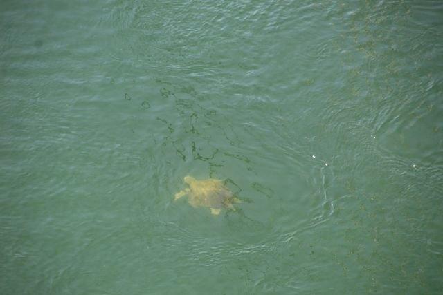 Ejemplar de tortuga marina fotografiado en el Canal del Estacio (Aurora Gil)., Foto 1