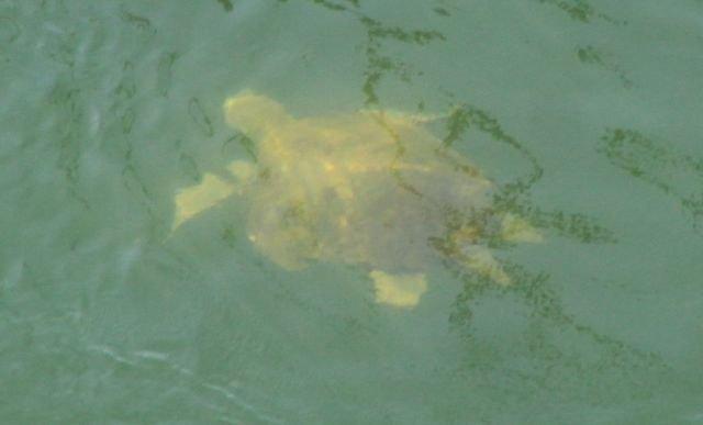 Macho de tortuga boba adulto en el Canal del Estacio - 2, Foto 2