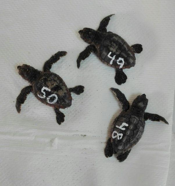 Nacen tres tortugas bobas más en el nido de La Manga - 1, Foto 1