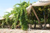 Guardia Civil, Policía Local y vigilantes rurales peinan las zonas de cultivo de uva de mesa - 2