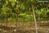 Guardia Civil, Policía Local y vigilantes rurales peinan las zonas de cultivo de uva de mesa - 7