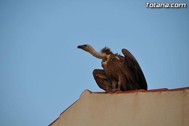Un buitre en Totana, Foto 1