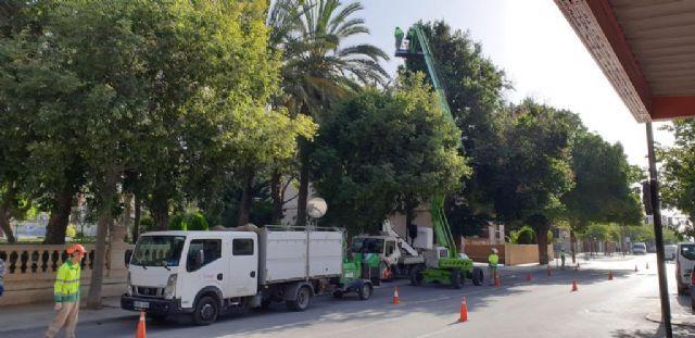 El Ayuntamiento de Lorca lleva a cabo una revisión exhaustiva del arbolado urbano de gran porte para prevenir desprendimientos de ramas - 1, Foto 1