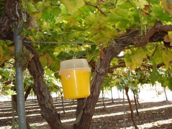La concejalía de Agricultura inicia la campaña de lucha contra la mosca de la fruta que afecta a los cultivos de cítricos tempranos y media estación, Foto 1