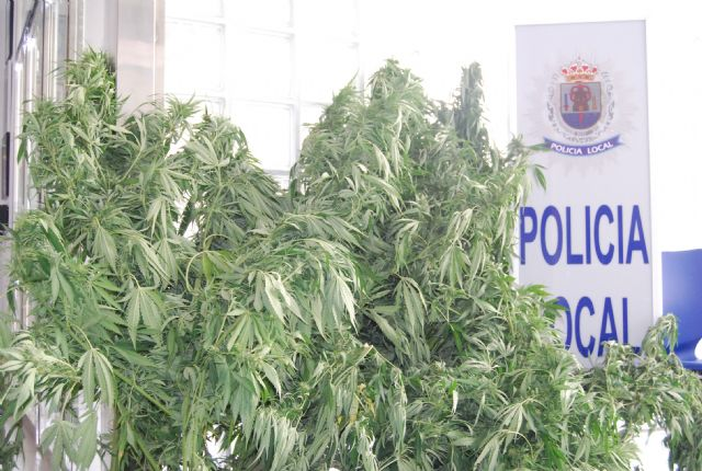 The Local Police of Totana is engaged in vehicle control ten plants of marijuana, Foto 1