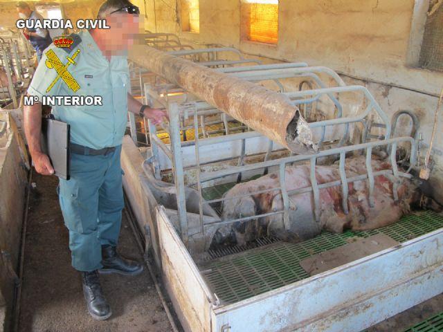 Operación marrano. La Guardia Civil inmoviliza 107 cerdos en una granja de Totana, Foto 1