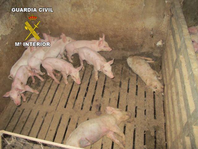 Operación marrano. La Guardia Civil inmoviliza 107 cerdos en una granja de Totana, Foto 2